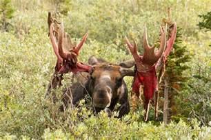 moose displays bloody antlers prepares for the rut tony