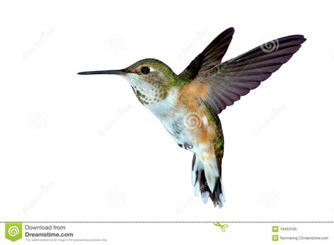 female rufous hummingbird stock image image of small