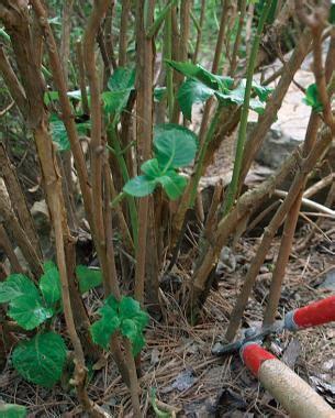 pruning hydrangeas fine gardening