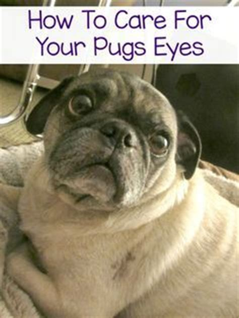 how to care for pugs activities the o jays and pug on