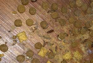 Pantry Worms White by Carpet Beetle Larvae Infestation What S That Bug