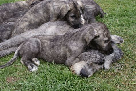 wolfhound puppies for sale superb wolfhound puppies for sale banbridge county pets4homes