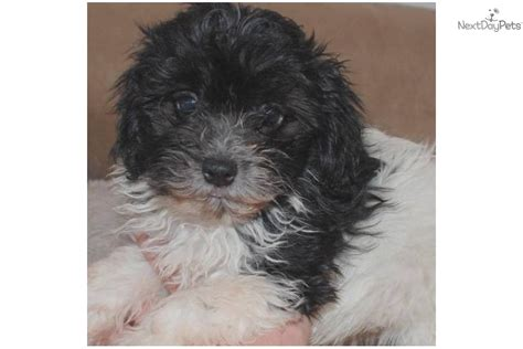 havanese puppies for sale houston havanese puppy for sale near houston bd7b9013 6df1