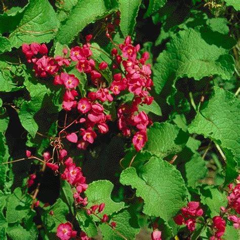 cadena de amor scientific name chihuahuan desert plants antigonon leptopus
