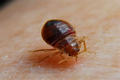 smoking bed bugs to get high kids are now smoking bed bugs to get high sober nation