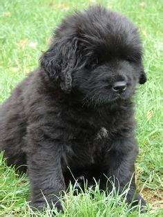 newfoundland puppies ma 1000 images about newfies on newfoundland newfoundland dogs and