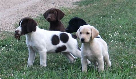 german shorthaired lab puppies german shorthair labrador mix breeds picture