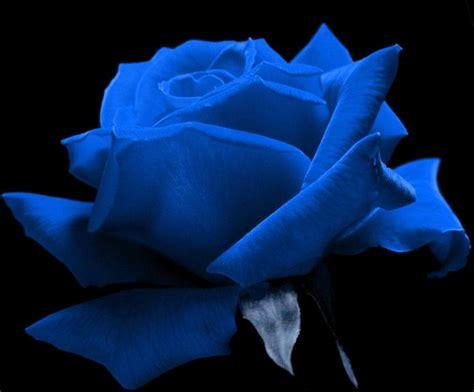 free wallpaper blue roses yellow wallpaper blue rose hd wallpaper free download