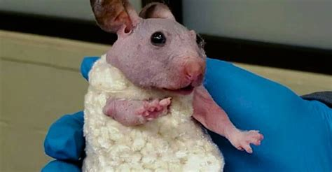 Hamster Sweater by Hairless Hamster Gets A Tiny Sweater To Keep