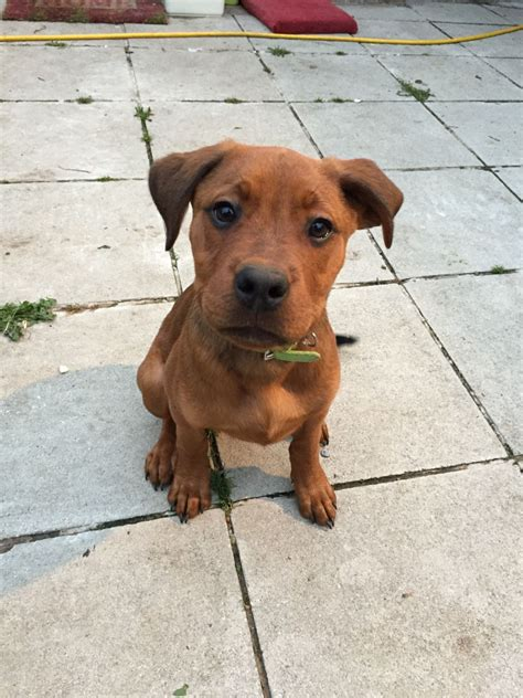 rottweiler boxer mix puppies for sale boxer rottweiler northolt middlesex pets4homes