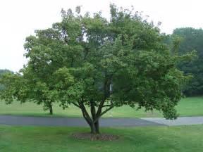 amur maple excellent medium sized tree for urban
