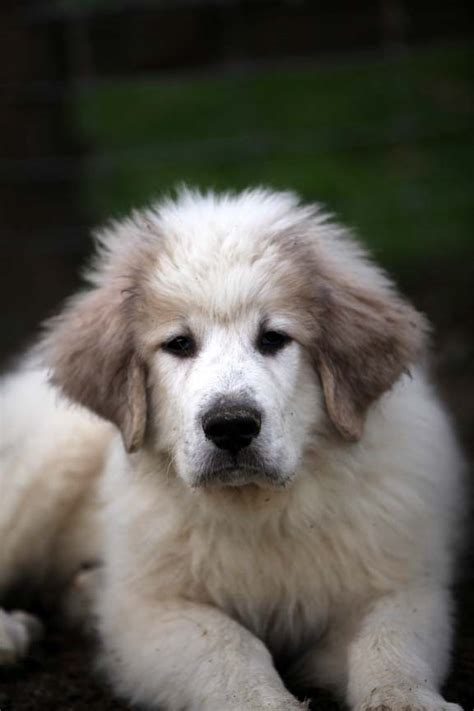 great puppy names getting stitched on the farm keep those great pyrenees puppies names coming