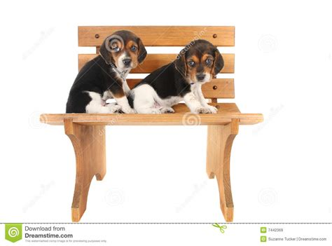 bench beagle beagle puppies on a bench royalty free stock images