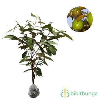 Tanaman Jadi Buah Sawo Duren Kenitu tanaman kenitu sawo durian bibitbunga
