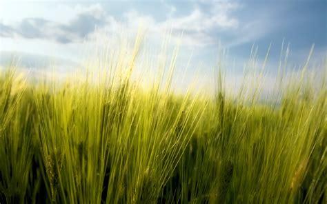 macro nature spring wheat bulgaria wallpapers hd