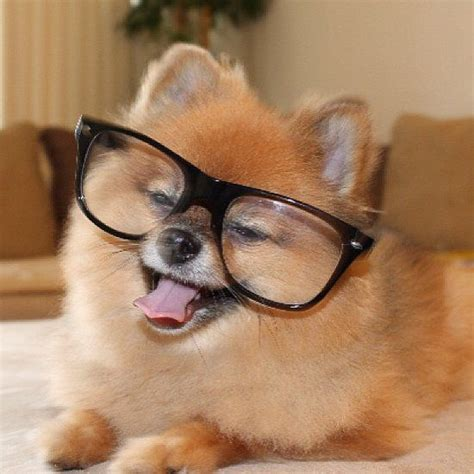 puppy with glasses smart dogs wearing glasses