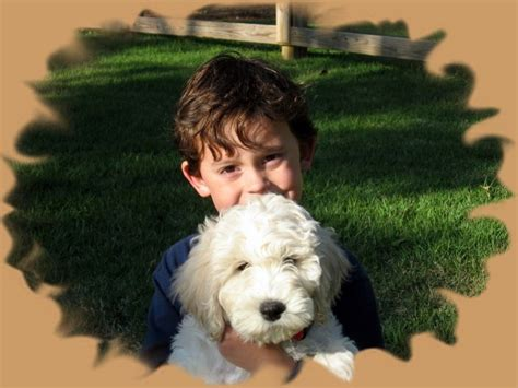 labradoodle puppies for sale in nc mill creek labradoodles index