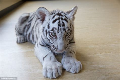 white tiger cubs play   toys  arriving