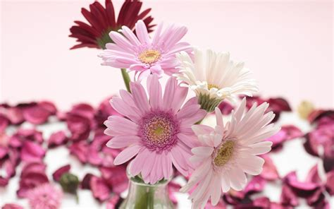 wallpaper floral wallpapers gerbera flowers wallpapers