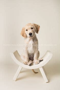 golden retriever puppies cleveland studio backdrops on 38 pins