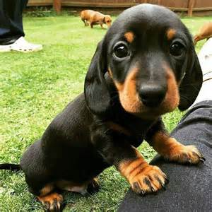 Dachshund Puppies 17 Smiling Dachshunds Put A Smile On Your