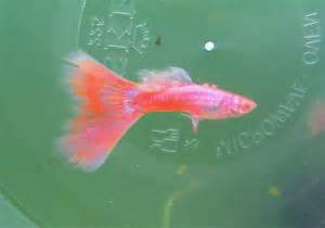 Buy Pink  Online at Aquarium Warehouse