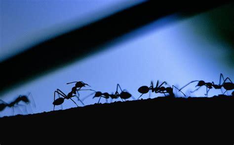 come combattere le formiche in cucina formiche ecco i migliori repellenti naturali cibo info