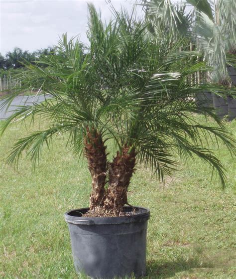 phoenix roebelenii palm plant care san diego wholesale plants