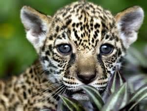 Why Jaguars Are Endangered A 250 N Es Posible Encontrar Jaguares