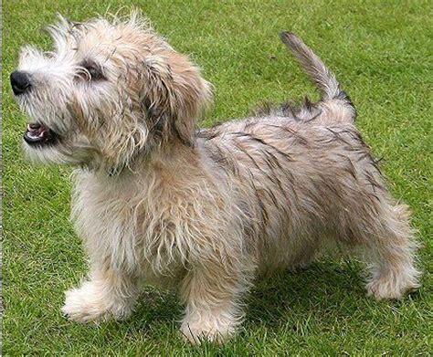 glen of imaal terrier puppies 1000 images about glen of imaal terrier on