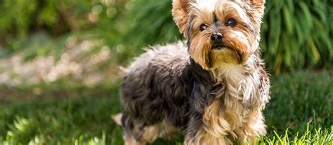 yorkshire terriers for sale yorkshire terrier puppies for sale greenfield puppies