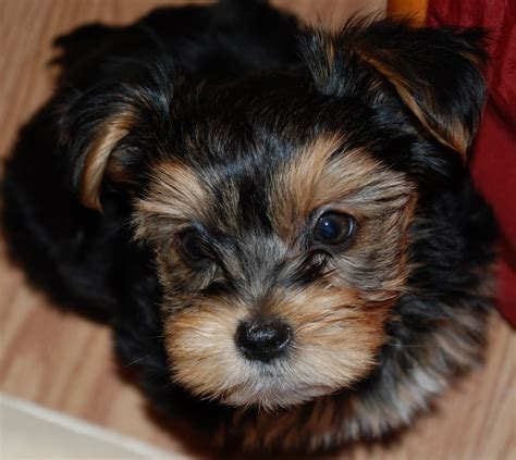 8 week yorkie puppies shorkie tzu yorkie tzu breeds picture
