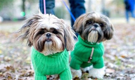 how to teach a shih tzu tricks 4 ways to teach your to respect you