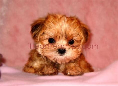 maltese yorkie puppies chicago 254 best images about animals on morkie