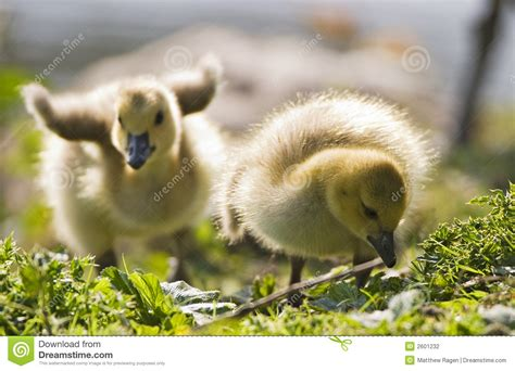 Two Baby Geese Stock Photography   Image: 2601232