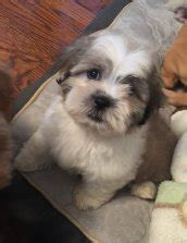 yorkie puppies for sale in chicago area puppies for sale teddy goldendoodle puppies in chicago il patty s pups