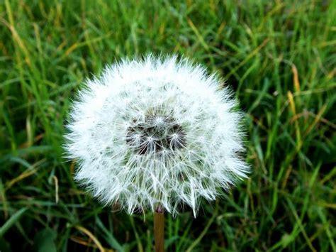 dandelion facts dandelion facts 28 images 10 facts about dandelions