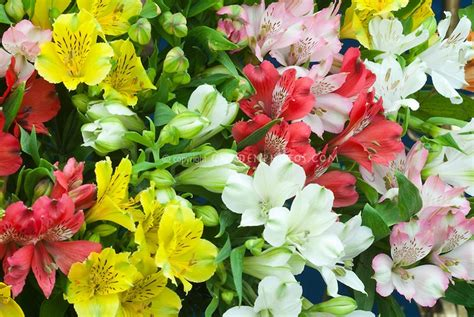 alstroemeria mixed colors flowers flowers and plants