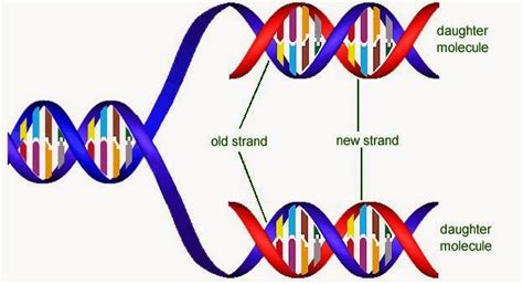 New Der One Way 4 Warna 34 dna structurer and replication biology notes for a