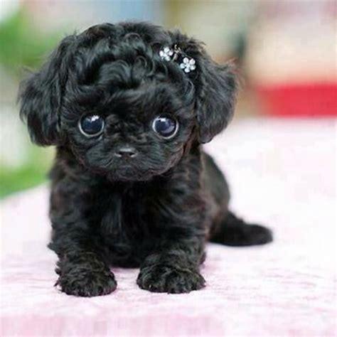 perro pug mini perros enanos los perros m 225 s adorables fotos