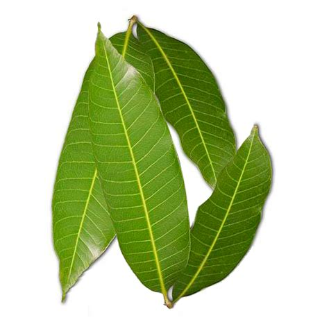 Fresh Homes mango leaves