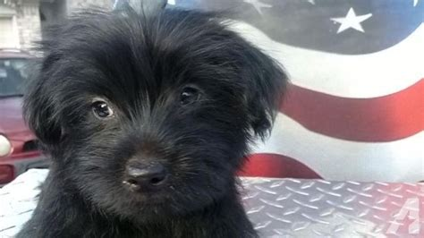maltese yorkie mix for sale black morkie maltese yorkie mix puppy for sale in fort worth