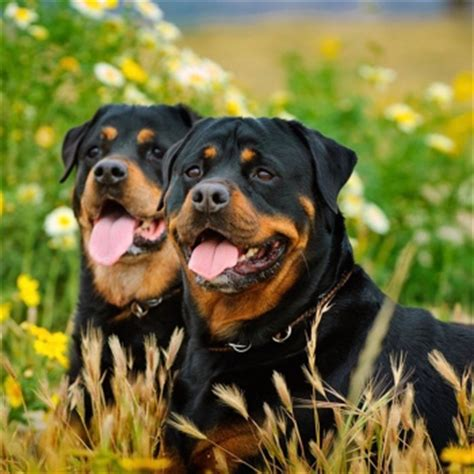 do rottweilers drool rottweiler breeds dogzone