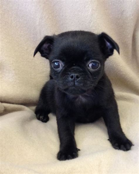 free pug puppies for sale 7 8 pug black puppies for sale in west pets4homes