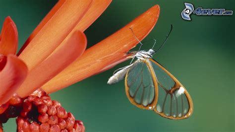 farfalla fiore farfalla