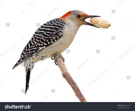 red bellied woodpecker holds a tasty treat in its beak