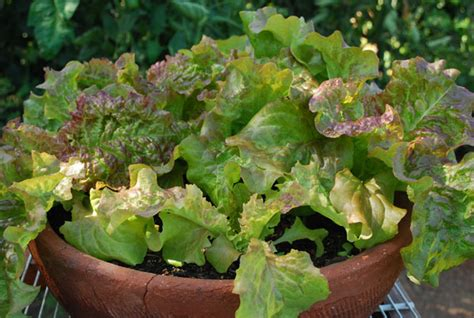lettuce container garden container gardening 15 best vegetables that grow well in a