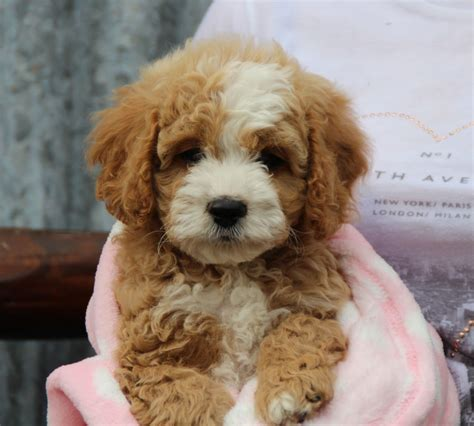 cavapoochon puppies for sale sold absolutely gorgeous f1b cavapoochon puppies liverpool merseyside pets4homes