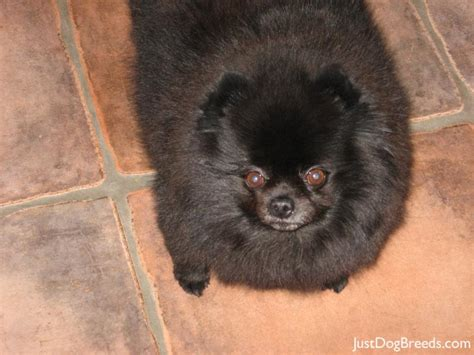 pomeranian large breed pomeranian breeds
