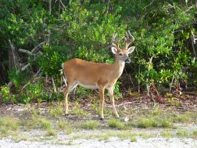 the pt6 nation the most for the bucks part 1 pt6a file key deer male jpg wikimedia commons